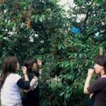 Cosechar fruta en Japón, una opción divertida