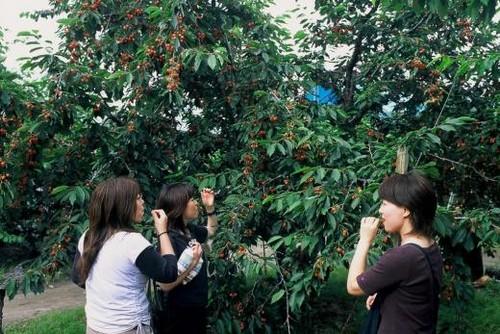 Cosecha de fruta en Japon