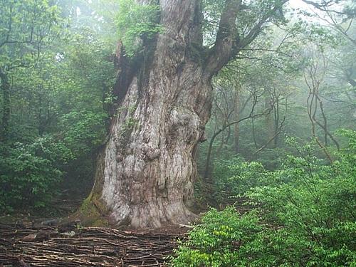 Visita la Isla Yakushima, cedros milenarios