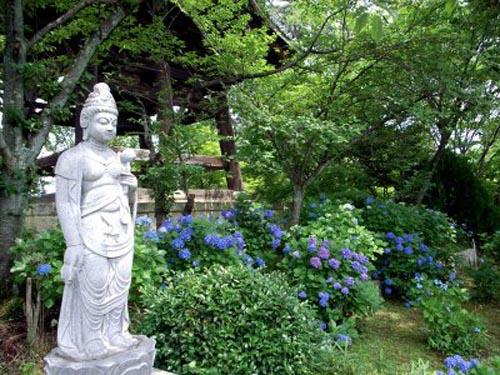 Ajisai Matsuri, hortensias en flor