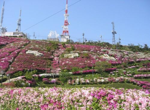 Azaleas en Oohirayama