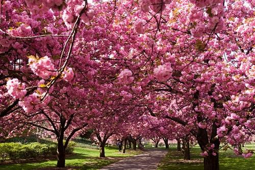 Florecen los cerezos en Osaka
