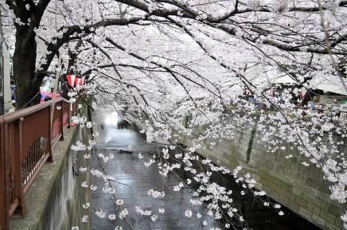 Sakura, flor del cerezo en japones